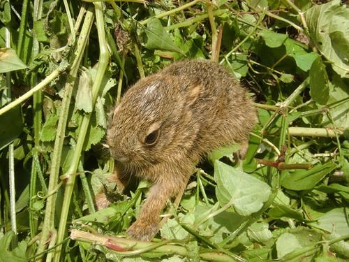 ニホンノウサギの画像 p1_10
